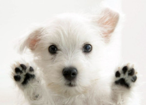 Fluffy-maltese-puppy-dogs-white-puppies-wallpaper-700x438